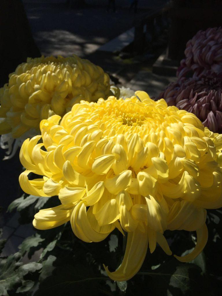 大輪の黄色い菊