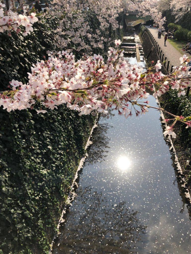 桜吹雪と花いかだ