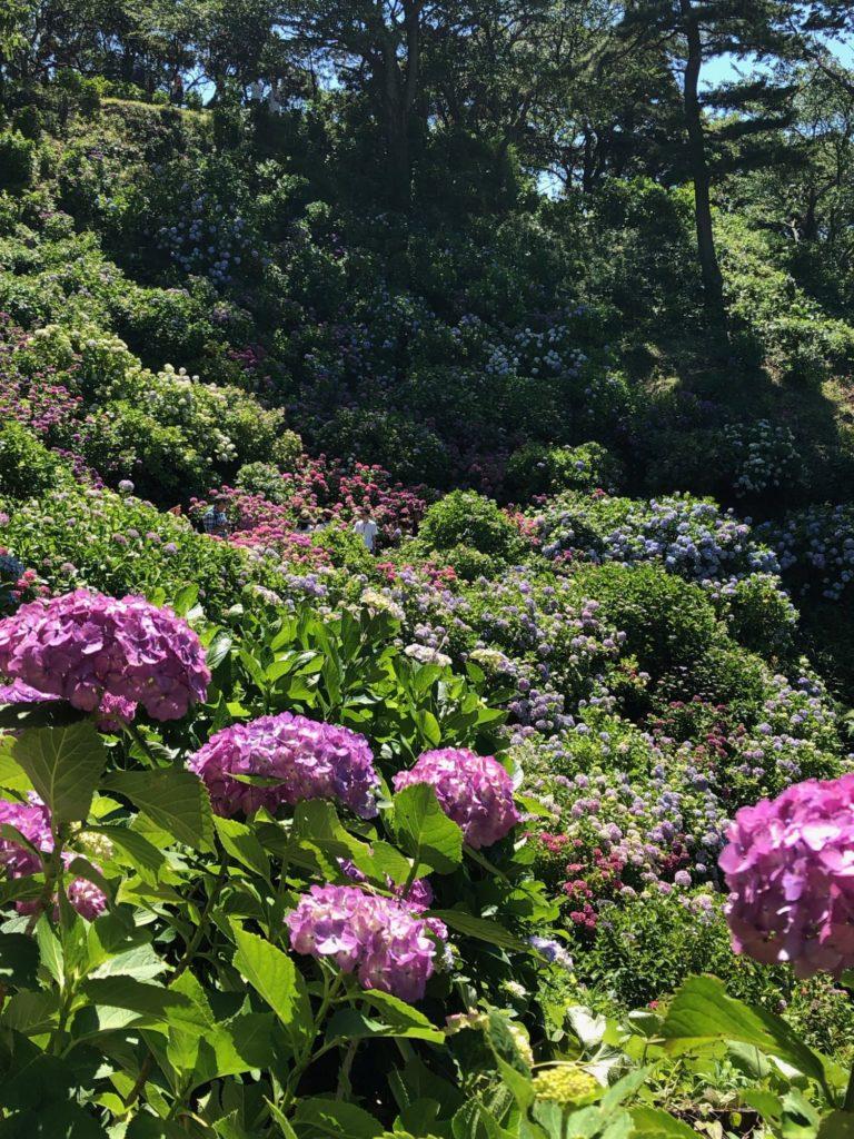 紫陽花の山_下田公園