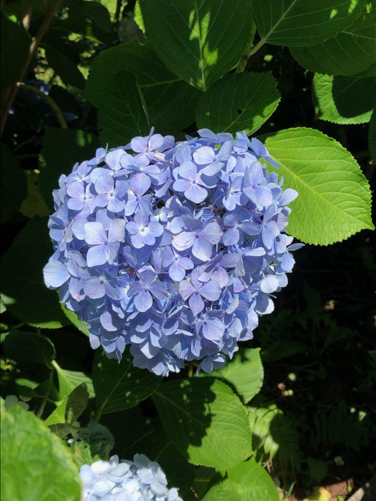 紫陽花_下田公園